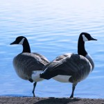 Pair of Canada geese to represent couples counseling
