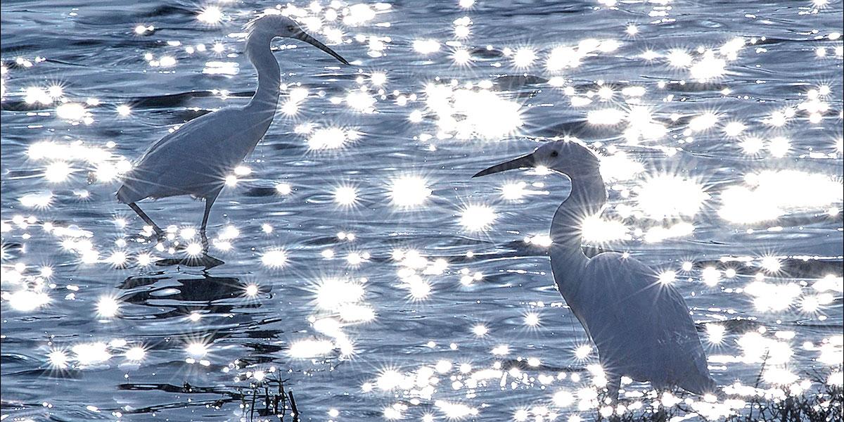 Egrets on Sunlit Lake