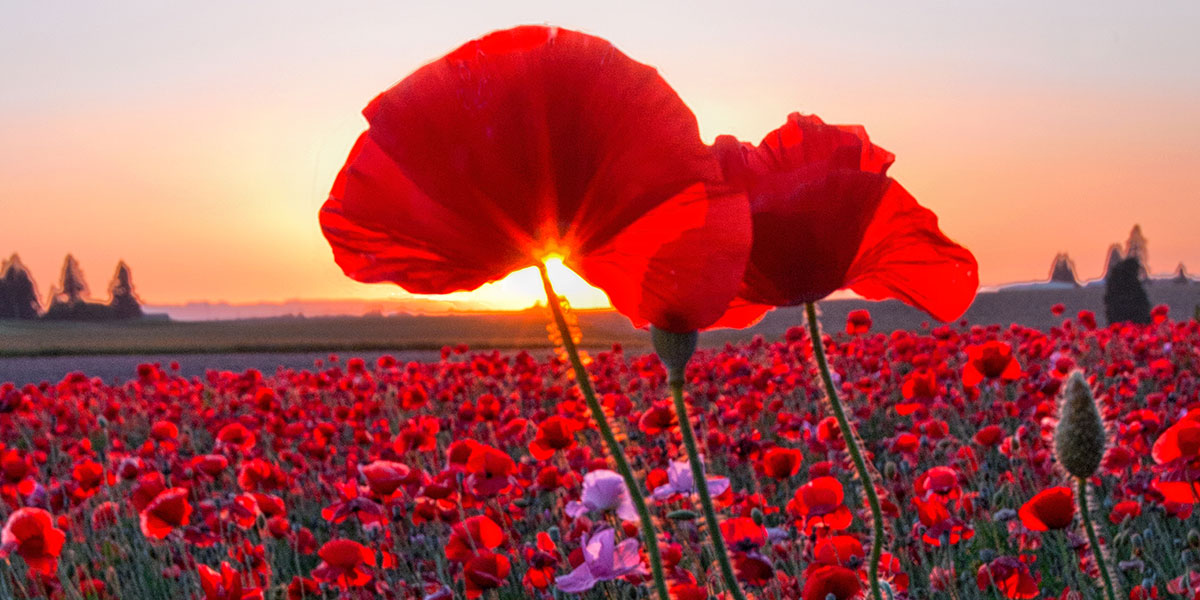 Field of Poppies at Sunrise